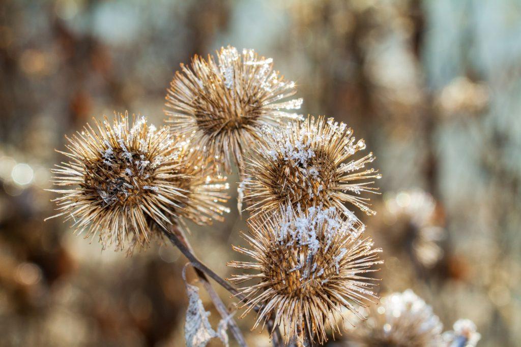 Owocostany łopianu dały początek popularnemu zapięciu na rzepy